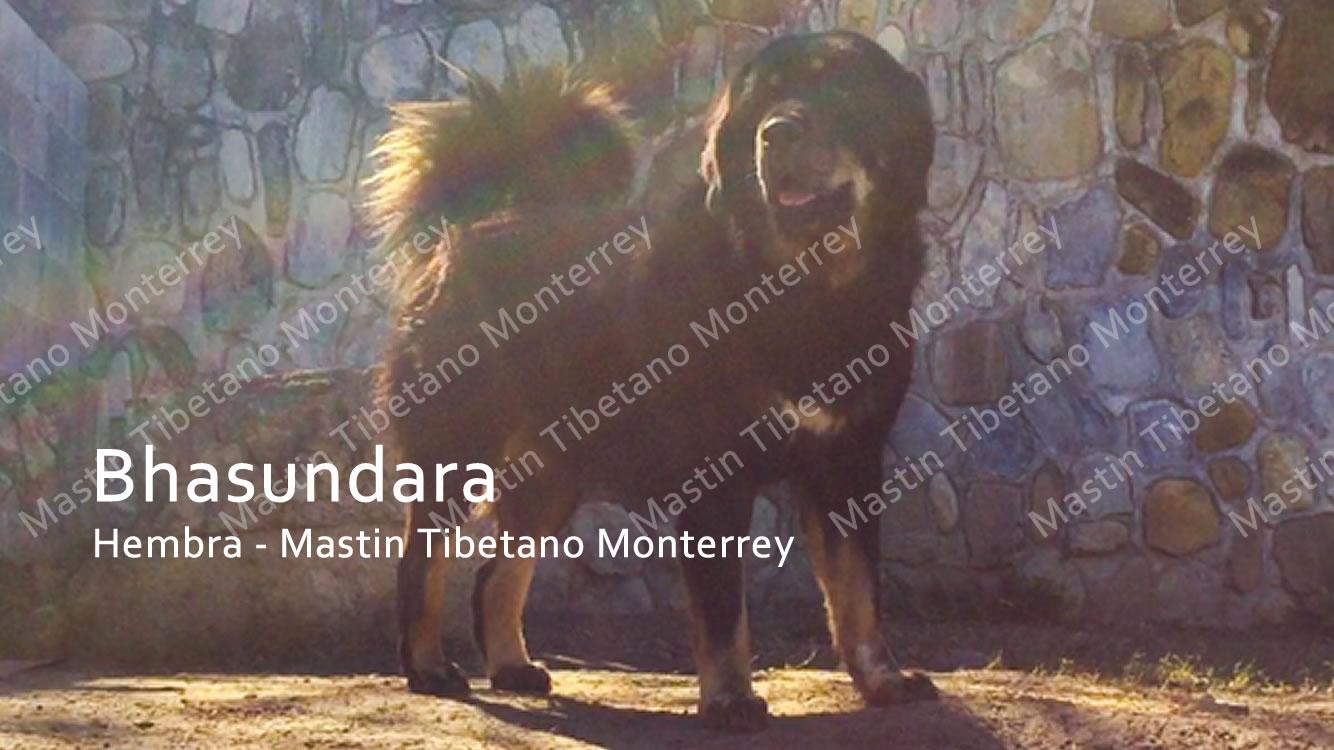 Bhasundara Hembra Mastin Tibetano Monterrey