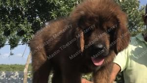 cachorro_macho_achmet-da-hong_undhra-moxg