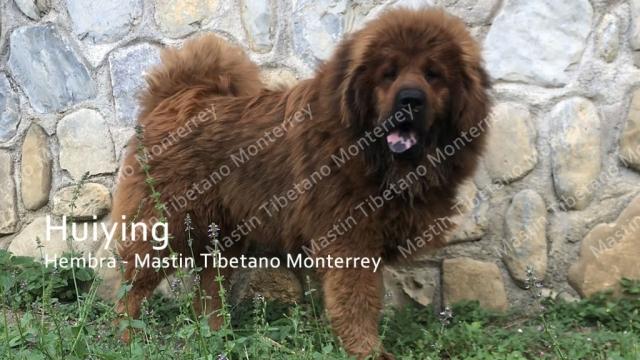 huiying-hembra-mastint-tibetano-monterrey