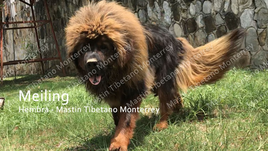 meiling-hembra-mastint-tibetano-monterrey