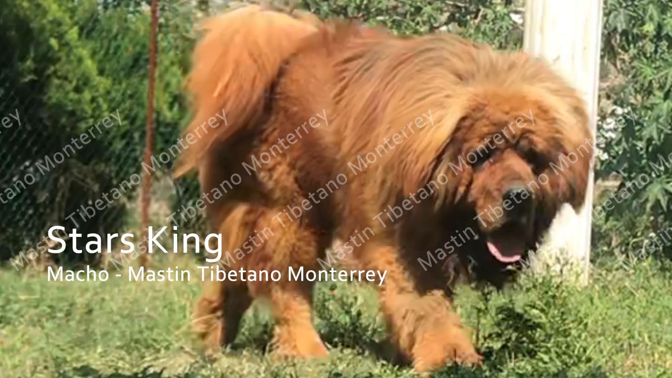 stars-king_macho-mastint-tibetano-monterrey