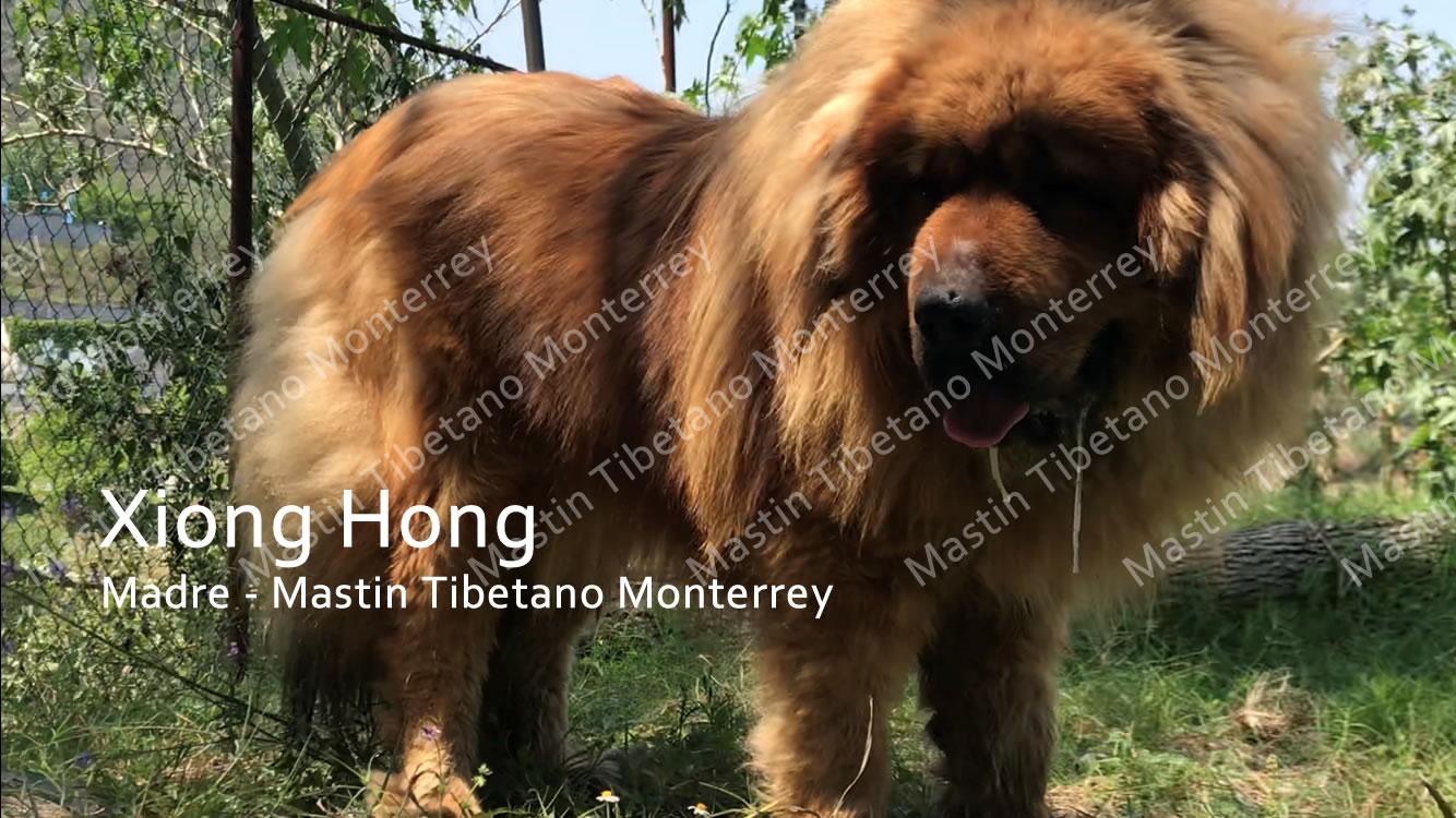 Xiong Hong Mastin Tibetano Monterrey