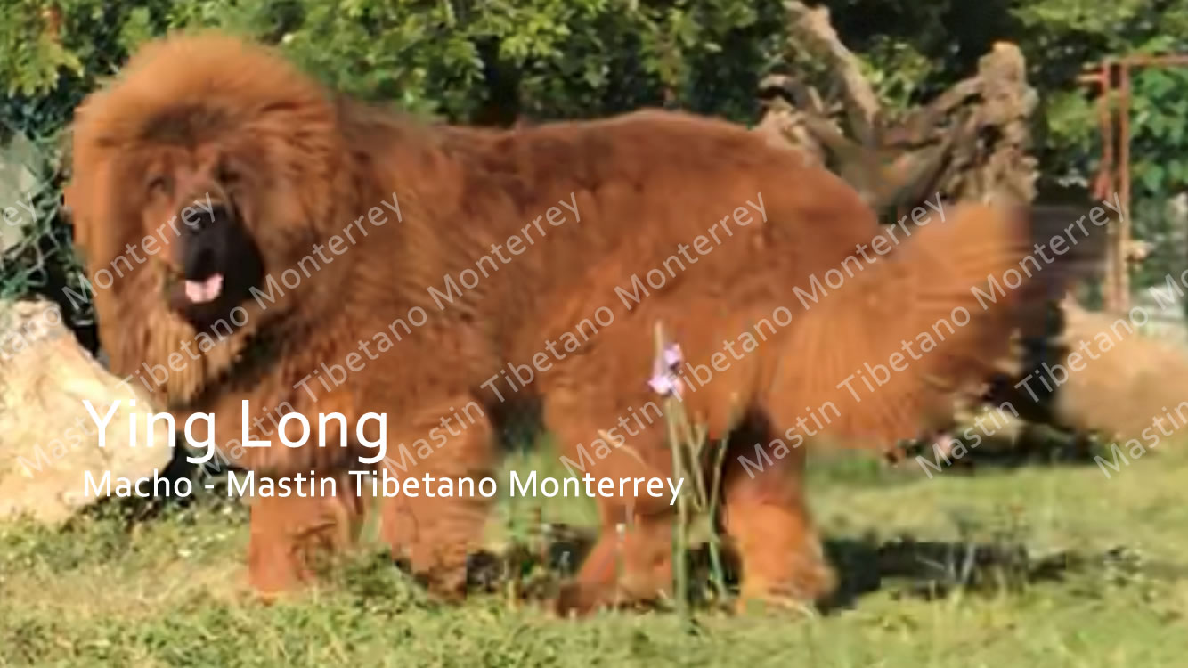Ying Long Mastin Tibetano Monterrey