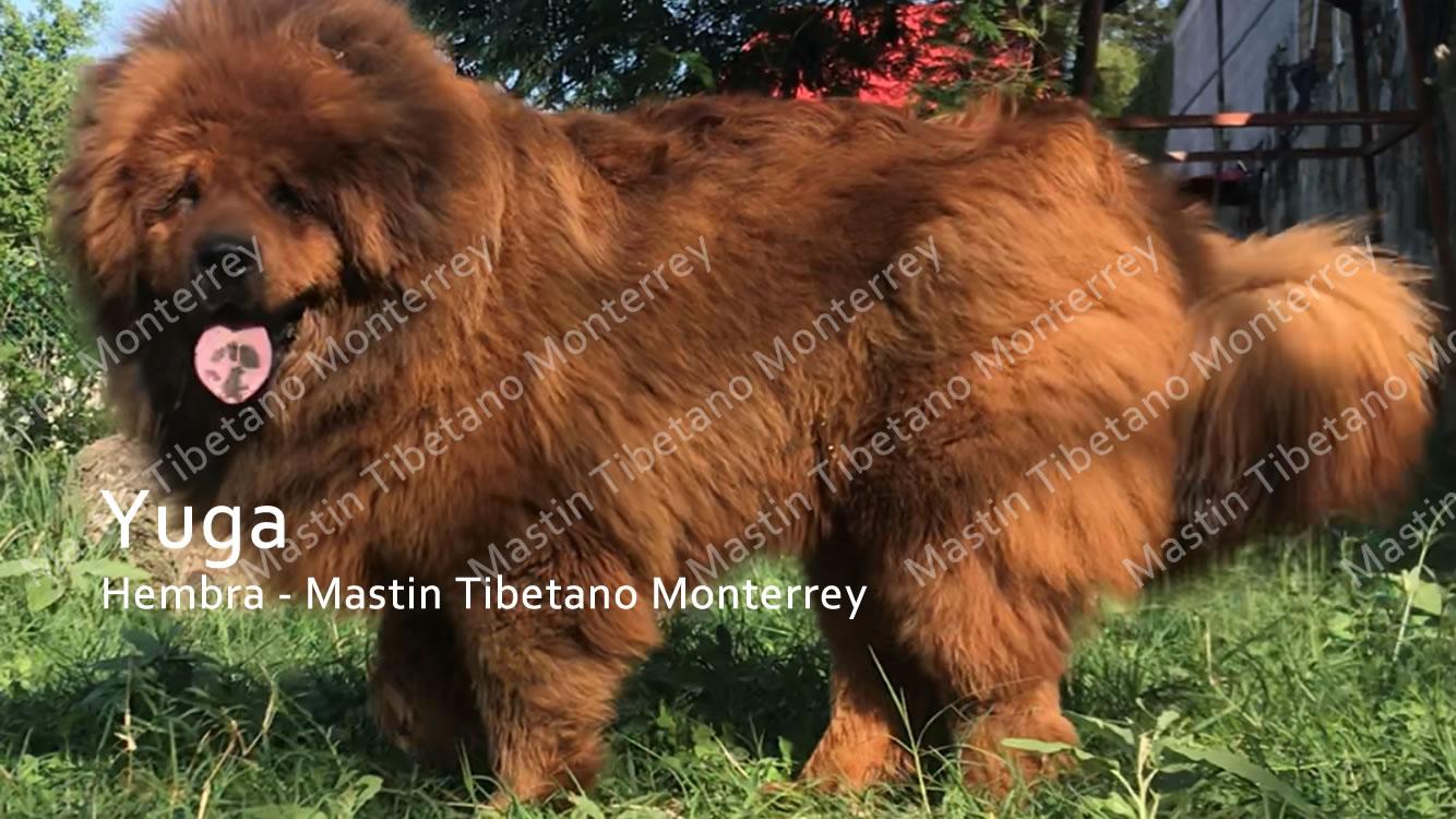 yuga-hembra-mastint-tibetano-monterrey